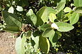 Lagunaria patersonia - Jardín Botánico de Barcelona - Barcelona, Spain - DSC08911.JPG