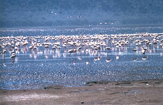 Rift Valley lakes - Greater and lesser flamingos flock to Lake Nakuru in Kenya