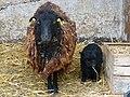 Lamm und Muttertier Bretonisches Zwergschaf.JPG