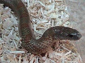Kingsnake - Mole kingsnake (Lampropeltis calligaster rhombomaculata)