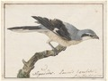 Lanius excubitor - 1753-1834 - Print - Iconographia Zoologica - Special Collections University of Amsterdam - UBA01 IZA1000232.tif