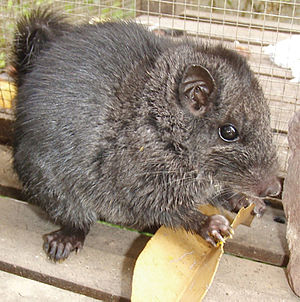 Laotian rock rat - Young male
