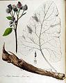 Lappa tomentosa — Flora Batava — Volume v13.jpg