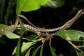 Large-spotted Cat Snake (Boiga multomaculata) 繁花林蛇.jpg