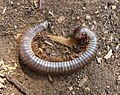 Large Millipede. - Flickr - gailhampshire.jpg