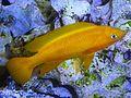 Large Neolamprologus leleupi.jpg