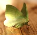 Large emerald - geometra papilionaria (43242179011).png