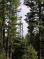 Larix occidentalis - Pinus ponderosa, Oregon.jpg