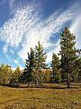 Larix sibirica, Habahe County, Altay, Xinjiang 1.jpg