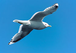 Larus canus brachyrhynchus in flight.jpg