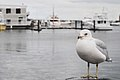 Larus delawarensis -Boston, Massachusetts, USA-8.jpg