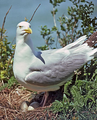 American herring gull - Adult on nest