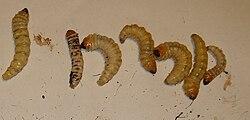 Des larves