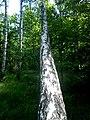 Las brzozowy w letniej szacie - panoramio (1).jpg