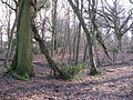 Lashmar Wood - geograph.org.uk - 1703909.jpg
