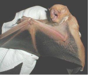 Desert red bat - Image: Lasiurus blossevillii