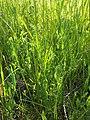 Lathyrus aphaca sl79.jpg