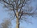 Le plus grand chêne de la forêt près de Bulligny.jpg