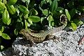 Leiocephalus carinatus (Curly-Tailed Lizard).jpg