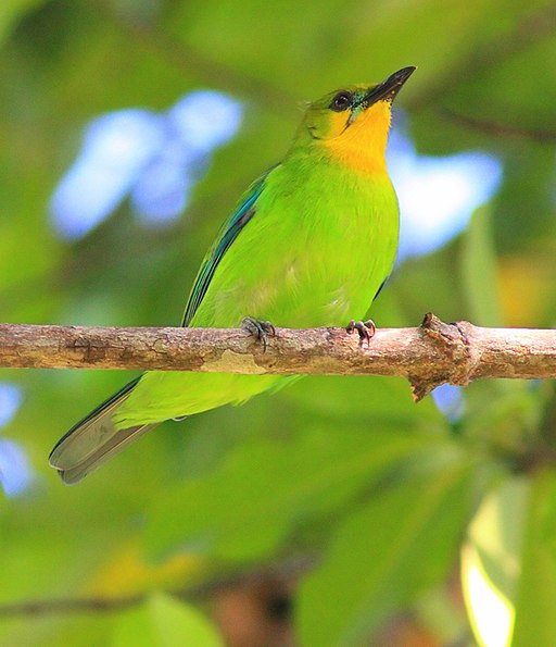 Lemon-throated-leaf-birdtrek