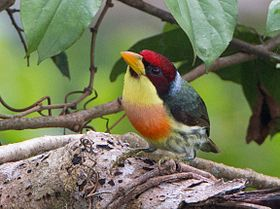 Lemon-throated Barbet (Eubucco richardsoni).jpg