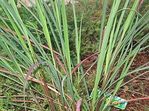 English: Lemongrass taken at St.Andrew's-sewan...