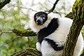 Lemur (25515244397).jpg