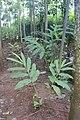 Lengkuas (Alpinia galanga).jpg