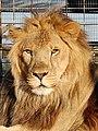 Leo the Lion (1584996234).jpg