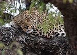 Leopard (Panthera pardus) resting in tree.jpg