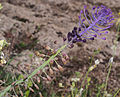 Leopoldia comosa 20150403 a.jpg