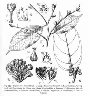 Lepidobotrys staudtii