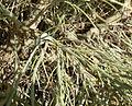 Lepidospartum latisquamum 4.jpg