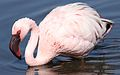 Lesser Flamingo, Phoenicopterus minor at Marievale Nature Reserve, Gauteng, South Africa (27825325771).jpg