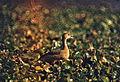Lesser Whistling Duck (Dendrocygna javanica) (20771857832).jpg