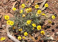 Leucochrysum albicans.jpg