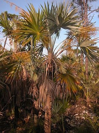 Leucothrinax - Leucothrinax morrisii in the Florida Keys.  Photo by Carl E. Lewis.