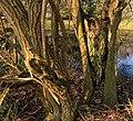Levende takken op half vergane wilg (Salix) Locatie, Natuurterrein De Famberhorst 01.jpg