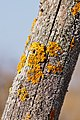 Lichen Xanthoria parietina on a wooden fence post 2015-04-10 HBP.jpg