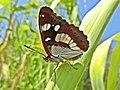 Limenitis reducta (Nymphalidae) (Southern White Admiral) - (imago), Narbolia (comuni), Italy - 3.jpg