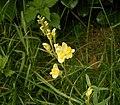 Linaria vulgaris 02 ies.jpg