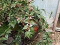 Linnaea sp. Peter Catt - Flickr - peganum.jpg