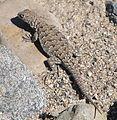 Liolaemus nigromaculatus female - ZooKeys-294-037-g006-C.jpeg