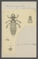 Liotheum - Print - Iconographia Zoologica - Special Collections University of Amsterdam - UBAINV0274 042 11 0004.tif
