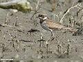Little Ringed Plover (Charadrius dubius) (31086868798).jpg
