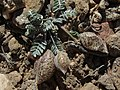 Little bigpod, Astragalus platytropis (25389780273).jpg