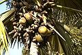 Lodoicea Maldivica B.jpg