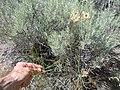 Lomatium triternatum (5036228615).jpg