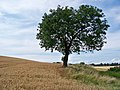 Lonesome Tree - geograph.org.uk - 1432295.jpg