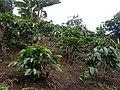 Los guaduales Balboa Cauca cultivo de cafe - panoramio.jpg